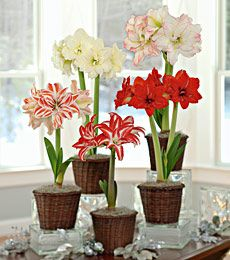 Growing Amaryllis in vase in winter..it can be done..mine was set up in November '13 still growing foliage and looks great..but it's about to absorb sine warm weather..