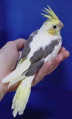 Baby Cockatiels are so cute- Amanda Lake - Brahma Chickens All Birds, Cute Birds, Pretty Birds, Beautiful Birds, Cockatiel, Budgies, Parrots, Most Famous Memes, Animals And Pets