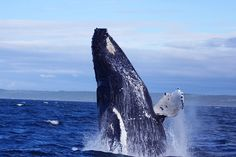 A humpback whale in the Bay of Fundy, near Westport, Brier Island (the Whale Watching Capital of Nova Scotia).