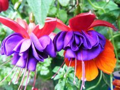 Fuchsia 'Voodoo' added by Laura Thomas. Click image to add to your lists and to get care advice. Laura Thomas, Window Box Plants, Very Lovely, Voodoo, Garden Planning, Beautiful Gardens, How To Find Out, Veggies