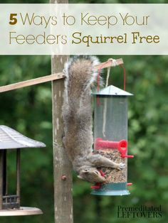 Are squirrels taking over your bird feeders? Try these 5 Natural Ways to Keep Squirrels Away from Bird Feeders to discourage squirrels humanely.