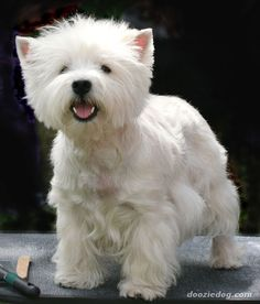 Westies are too cute... if I ever get another dog