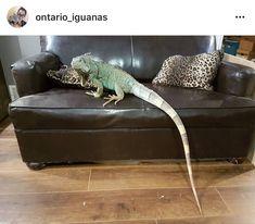 Yep - iguanas really get that big!