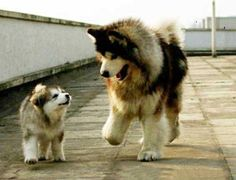 Big, furry Malamutes!!