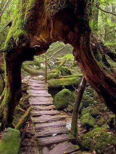 Őserdő, Shiratani Unsuikyo Ravine, Japán