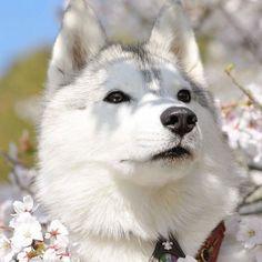 My Husky, Dogs, Animals, Animales, Animaux, Pet Dogs, Doggies, Animal, Animais