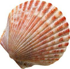 Resultado de imagem para sea shells