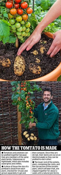 Tomato Plants Called the TomTato, each plant can yield more than 500 sweet cherry tomatoes as well as a decent crop of white potatoes. Veg Garden, Edible Garden, Garden Plants, Backyard Plants, Vegetable Gardening, Growing Tomatoes, Growing Vegetables, Growing Plants, Organic Gardening