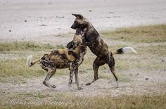 Playful wild dogs on the Jao Concession Okavango Delta, Wild Dogs, Wilderness, Camel, Safari, Africa, Camping, Horses, Canvas