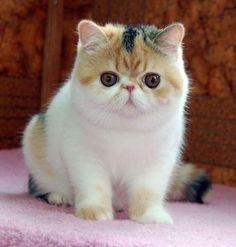 Exotic Shorthair kitten! So grumpy and fat!