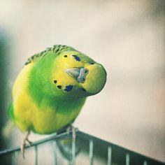 curious  (I love parakeets!)