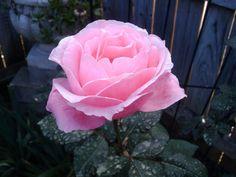 """""""Queen Elizabeth II"""" Rose"""