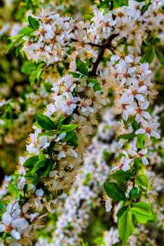 blossoms of a wild plum tree