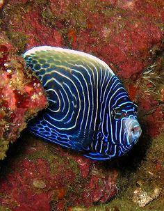 Juvenile emperor angel fish.