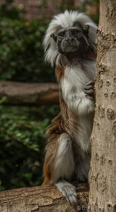 Cotton Headed Tamarin-it's actually really really cute!