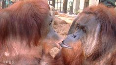 It's spring and love is in the air .. BamBam and Tango ... Center for Great Apes