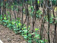 There are countless ways to trellis peas, but one of the best and least expensive techniques is to use tree and shrub trimmings as a support. These pea sticks, as they are called, work particularly well because peas love to twine their tendrils them.