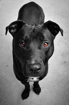Hoboken, NJ Pitbull Lab Mix, Pitbull Terrier, Black Pitbull Puppies, Bull Terriers, Lab Pit Mix, Boxador Puppies, White Pitbull, Dogs Pitbull, Husky Puppy
