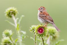 Field Sparrow by Axel Hildebrandt on 500px.