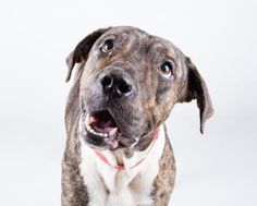 10/1/16 Maxwell is an adoptable Pit Bull Terrier searching for a forever family near Decatur, GA. Use Petfinder to find adoptable pets in your area.