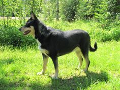 Lapponian Herder dog photo | Lapinporokoira / Lapponian Herder Dog
