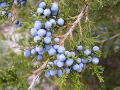 Juniperus virginiana - Google'da Ara