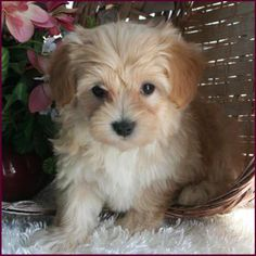Maltipoo pups are so darn cute!   (I had never heard of a Maltipoo -- now I want one!)