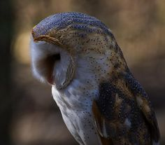 Excellent profile  of this 'Barn Owl Profile 2' photography by Chris Flees