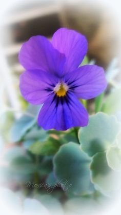 Violetta by Yaschica F-X 3, via Flickr