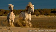 Crinière au vent et sabots battants, le cheval de Camargue donne à cette région des airs sauvages et indomptables. De tous les paysages camarguais, ce cheval de selle partage la v...