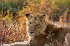 Leonessa nel Parco Kruger