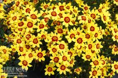 """Coreopsis 'Gold Nugget' - An amazing bloomer, with over 200 warm gold flowers on a first year plant, each with a blazing red eye. Blooms continuously for 3 to 4 months. Flowers are an amazing 1½""""wide. 'Gold Nugget' has a superb mounding form. Thrives in heat and humidity."""