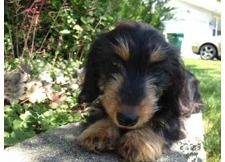 Silky wire haired daschund
