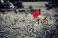 Poster Rote Mohnblumen im Kornfeld schwarzweiß