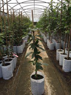 Holkham Sweet Chestnut - Barcham Trees