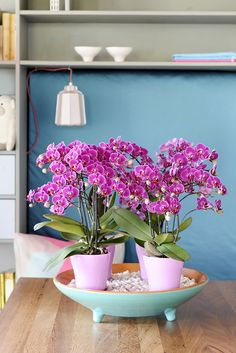 Purple orchids are lovely and unique treasure ©Anthura #phalaenopsis #Morelia #purple