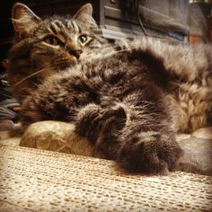 Angus, the fluffy little man, (without his tongue out). cute cat