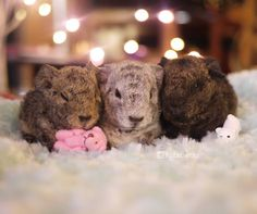 """Meet the """"Jelly Babies""""! They're almost 2 days old No they don't have names yet but we're collectively calling them Jelly Babies for now. I think the brown one is probably a girl and the gray and black ones are probably boys but at this age it's EXTREMELY hard to tell"""