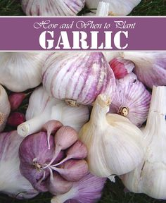100 pcs/bag garlic seeds Organic seeds Super vegetables Kitchen seasoning food bonsai or pot plant for home garden Planting Garlic, Planting Seeds, When To Plant Garlic, Garlic Seeds, Grow Garlic, Gardening Zones, Garlic Bulb, Winter Vegetables, Fall Plants