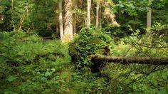 Over 10 dagen gaat de zaag in het laatste oerbos van Europa, het Poolse woud van Bialowieza. Gisteren kondigde de Poolse minister van Milieu Jan Szyszko aan dat de veel betwiste 'redding' van de door de letterzetterkeveraangetaste bossen over een dag of tien dus midden in het broedseizoen van start zal gaan.