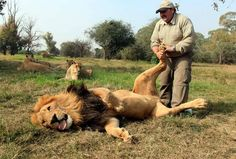 lion enjoys a foot rub leon goza de un masaje a los pies