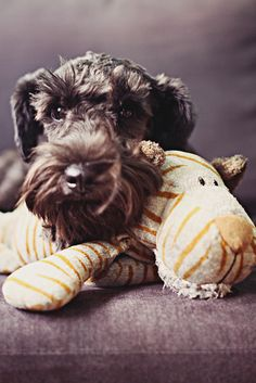 Zoey Loves Her Tiger Stuffed Toy by Marie Kristel Lim #Miniature #Schnauzer
