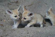 cute fennec foxes | Twitter