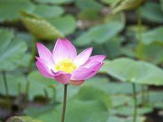 Lotus flowers in full blooming season (© Getty Images)