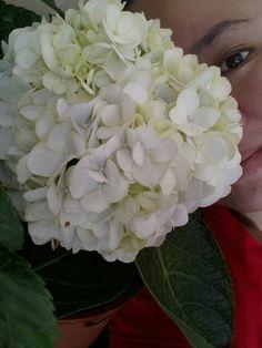 My big species of hydrangea