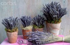 Lavender: #Lavender Growing Tips ~ thrives in warm, well-drained soil and full sun. Like many plants grown for their essential oils, a lean soil will encourage a higher concentration of oils. An alkaline and especially chalky soil will enhance lavender's fragrance.