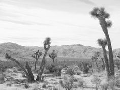 A photograph of a unique set of Joshua Trees. This monochrome print will add something special to your space. All prints are printed with