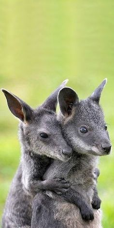 Cute Photos Of Animals In Love what Funny And Cute Animals Video. Cute Images Of Animals With Quotes per Cute Cartoon Animals With Big Eyes Pictures Cute Funny Animals, Cute Baby Animals, Cute Cats, Nature Animals, Animals And Pets, Animals Images, Zoo Animals, Tier Wallpaper, Australian Animals