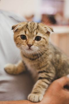 How to sell Your Scottish Fold Kittens - The Scottish Fold Cat Cute Kittens, Puppies And Kitties, Cats And Kittens, Dogs, Kitten Love, I Love Cats, Crazy Cats, Soft Kitty Warm Kitty, Here Kitty Kitty
