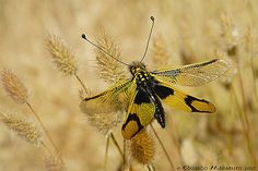 Owlfly.  Libelloides longicornis    An interesting group of Neuroptera, the ant-lions and relatives are conspicuous, brightly coloured and come in a variety of shapes and patterns, very like butterflies but having an interest on their own.  This is one of the many species in Portugal and the whole of Southern Europe.